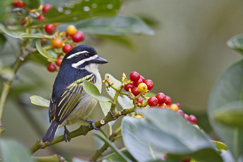 Tinkerbird-Yellow-rumped_05